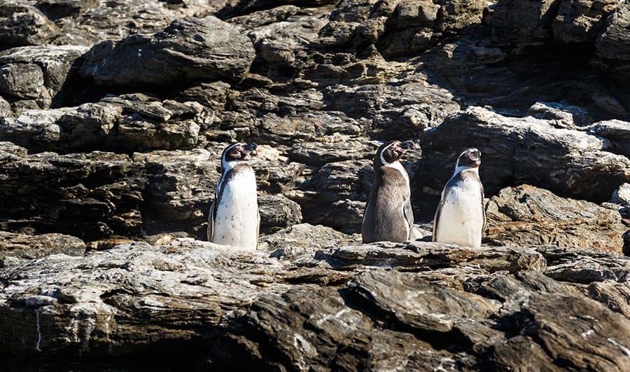 Recomendaciones para visitar la Reserva Nacional Pingüino de Humboldt