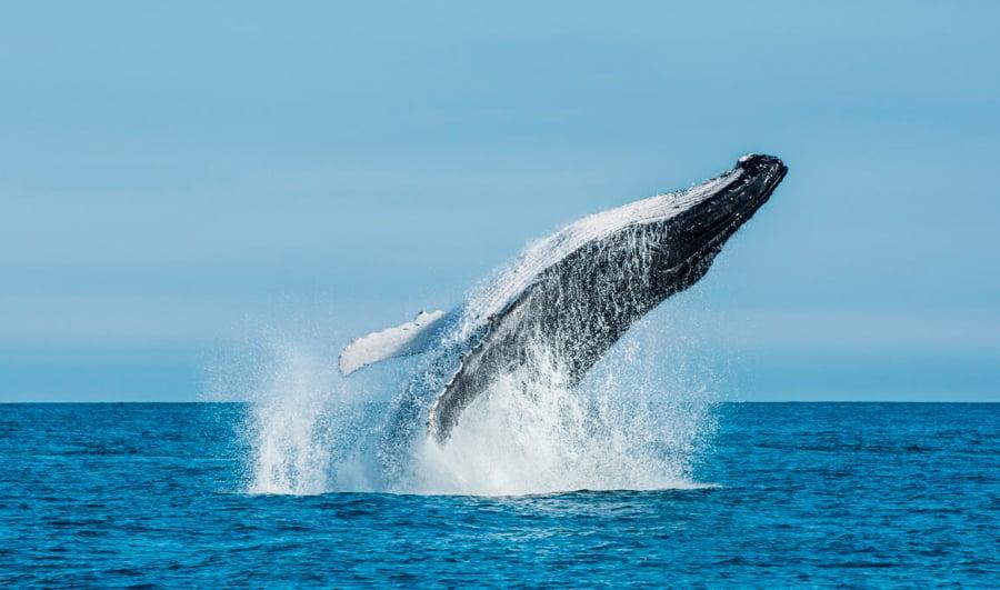 Ballenas en la Isla Grande de Chiloé