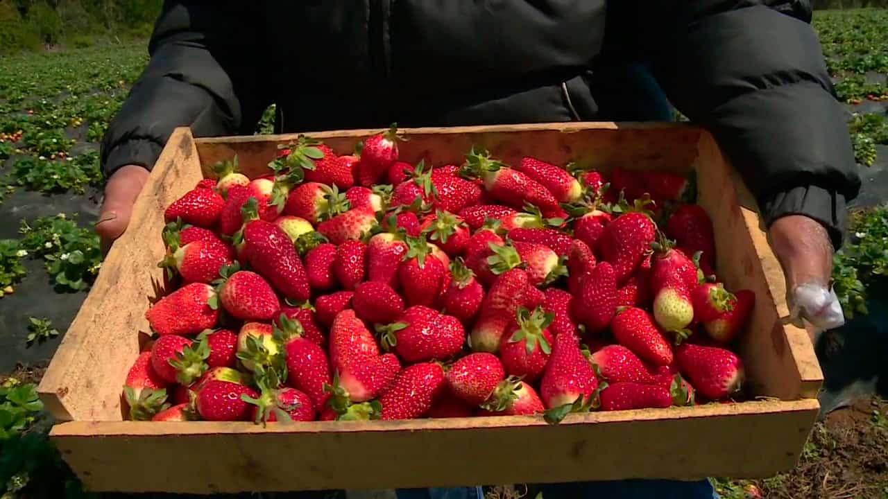 Las frutillas más ricas de Chile
