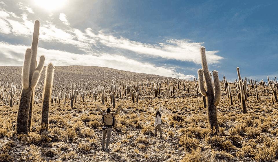Cactus gigantes de Ancovinto